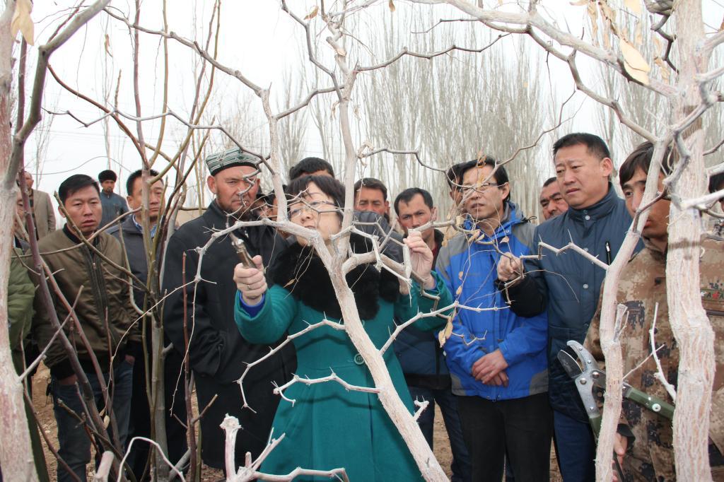 我校专家为51团果农传授枣树修剪技术